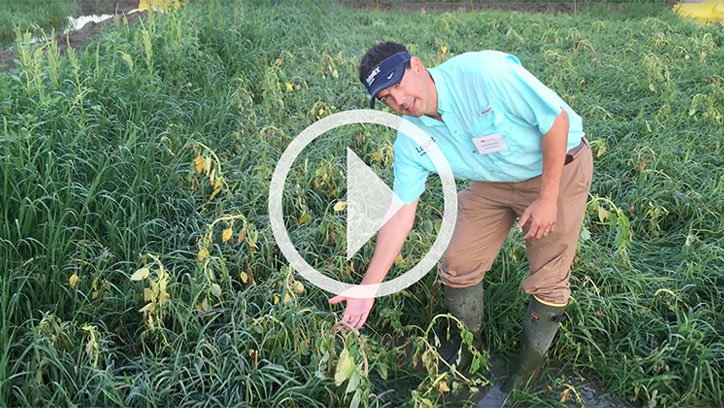 Hunter Perry - Loyant Herbicide Palmer Amaranth and Barnyardgrass Control
