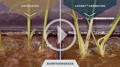 Loyant Weed Comparison