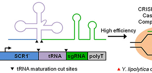 Synthetic RNA Polymerase III Promoters Facilitate High-Efficiency CRISPR–Cas9-Mediated Genome Editing in Yarrowia lipolytica